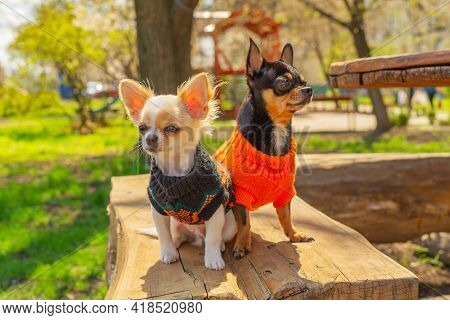Two Chihuahua Dogs Sit On Garden Bench. Chihuahua In Black And Orange Sweaters. Chihuahua, Garden
