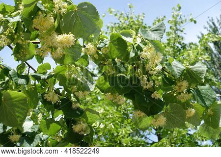 Multiple Flowers In The Leafage Of Linden Tree In June