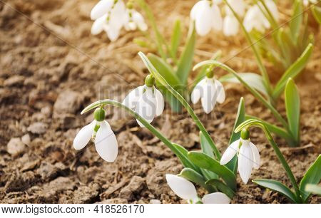 Beautiful White Snowdrops In The Spring Garden. Spring Fragrant Flowers. Nature. Sunlight. Soft Sele