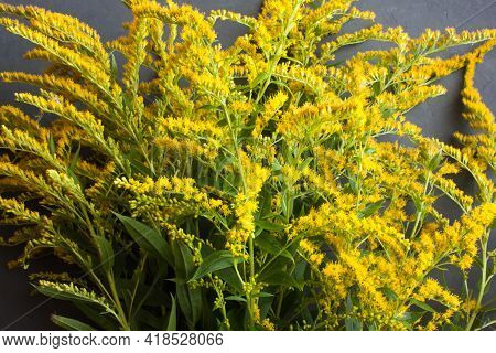 Many Sprigs Of Canadian Goldenrod (solidago Canadensis) With Delicate Yellow Flowers On A Gray Backg