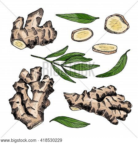 Ginger Root Vector Set. Hand Drawn Ginger Plant With Leaves And Cut Slices Illustration. Colored Doo