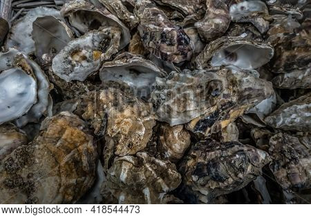 A Lot Of Oysters Shells Heap Close Up. Sea Shells, No Focus, Specifically.