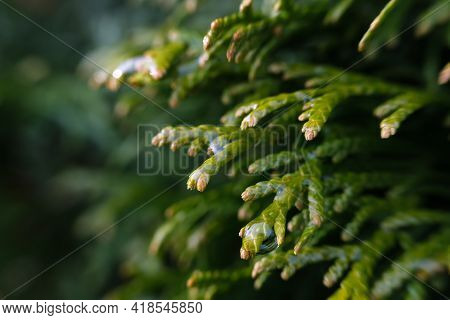 Young Green Branches Of Thuja Close-up.