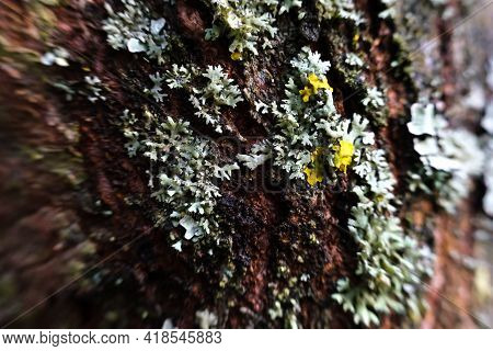 Yellow And Grey Lichen Cover The Trunk Of The Tree.