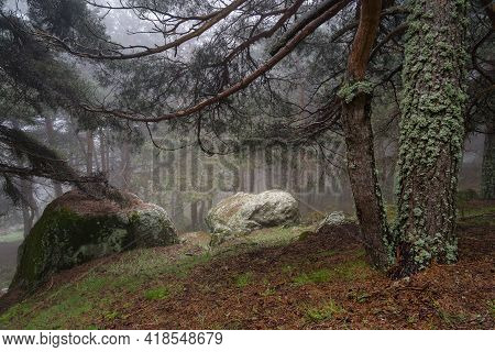 Enchanted Forest Environment With Clearing Between The Trees And Intense Fog. Navacerrada Madrid.