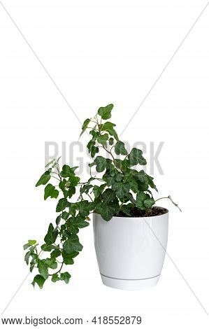 Hedera Helix. Green Ivy Houseplant In Ceramic Flower Pot Isolated On White Background With Copy Spac