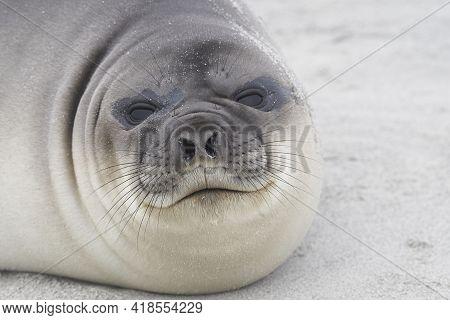 Southern Elephant Seal Pup (mirounga Leonina) On The Coast Of Sea Lion Island In The Falkland Island