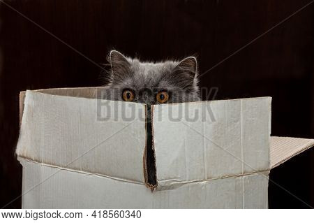 A Funny Scared Cat With Big Scared Eyes Is Hiding In A Cardboard Box.