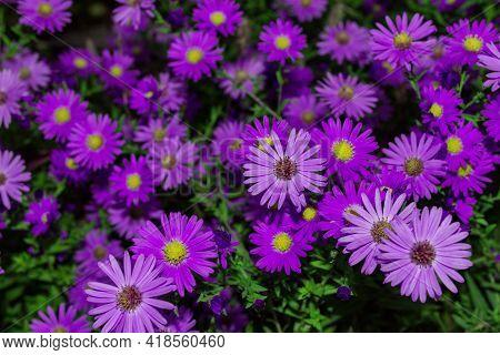 Floral Garden. Purple Flowers New York Aster Or Aster Novi-belgii (latin: Symphyotrichum Novi-belgii