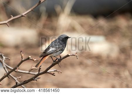 A Small Songbird With Dark Plumage And A Bright Rusty-orange Tail: A Black-tailed Redstart, Sitting