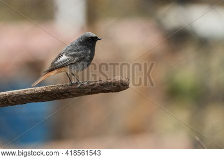 A Black-tailed Redstart With A Bright Rusty-orange Tail Sits On A Stick. Selective Focus.