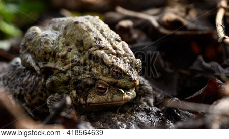 Pair Of Common Toads, European Toads (bufo Bufo) Sitting On Top Of Eachother. Amphibian Animals Mati