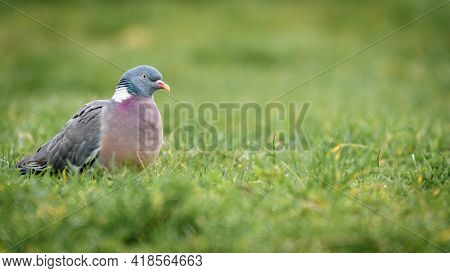 Common Wood Pigeon (columba Palumbus) Looking For Food On Green Grass Of Lawn. Birds Spring In The S