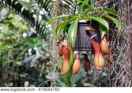 Nepenthes Ventrata, A Tropical Jug Plant In A Garden Pot. Carnivorous Plant.