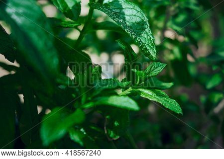 Close-up Of Garden Mint Leaves With Dew Water Drops. Common Mint Or Spearmint. Leaves Of Mentha