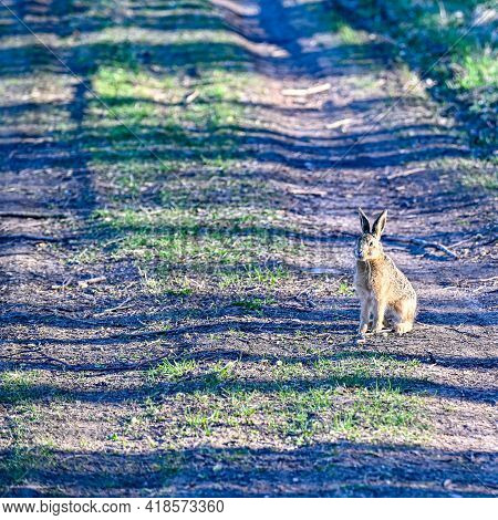 Cute Young Hare On Forest Road Early Morning