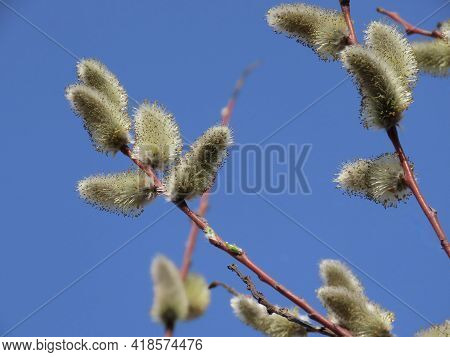 Furry Yellow Male Catkins Of A Willow Salix Sp. Close Up, On A Bright Early Spring Day, With Blurry