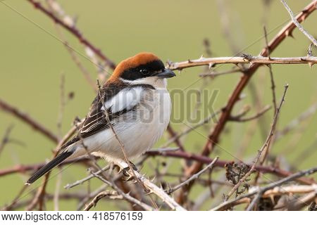 The Woodchat Shrike Lanius Senator In Natural Habitat Perched On Branch.