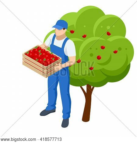 Isometric Apple Orchard, Ripe Fruits Hanging On Branch. Assembling The Harvest Of Apples. A Man With