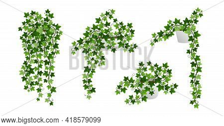 Ivy Creeper Plants In Pot Isolated On White Background. Green English Ivy Liana Houseplants With Cli