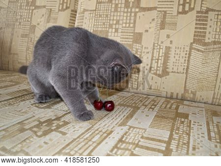 Little Cute Kitten Plays With Cherry Berries. Curious Kitten Trying Something New