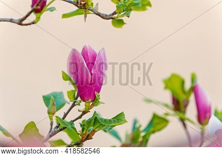 Spring Nature, Beauty, Environment Magnolia Flower Blossoming On White Background. Blossom Of Purple