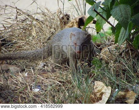 Mongoose, A Small Terrestrial Carnivorous Mammal Native To Europe, Asia And Africa