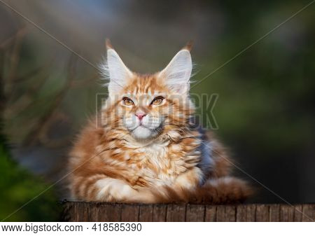 Red spotted Maine Coon kitten. Cat resting on stump. Kitten 3 months old.