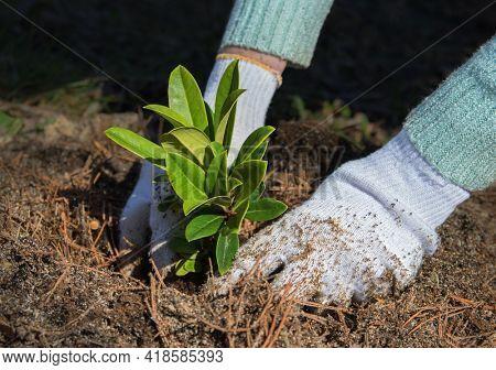 Gardener puts rhododendron bush in ground in garden. Process of landing plant in ground.