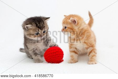 little british kittens play together