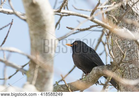Bird Turdus Merula Or Common Blackbird Perched On A Tree Branch In Spring