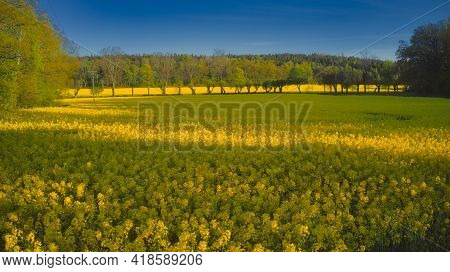 Rapeseed Field In Ekero - Stockholm - Sweden