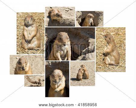 Souslik (ground Squirrel) Multishot Collage