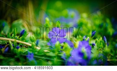 Close-up image of blooming Creeping Myrtle or Periwinkle