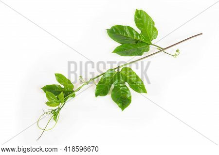 Branch Of Green Passion Fruit Leaves Isolated On White Background
