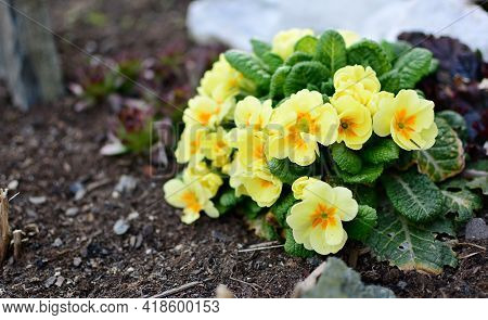 Bunch Of Yellow Primula Veris Plants Growing From Soil In The Garden. Primula Veris Closeup.