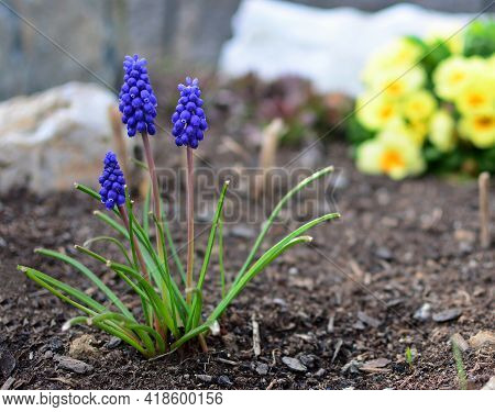 Close Up Of Blue Muscari Armeniacum Or Armenian Grape Hyacinth Bunch, Growing In The Garden From The