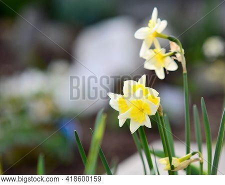 Close Up Of Yellow Blossoming Narcissus Pseudonarcissus Growing In The Garden At Early Spring Season