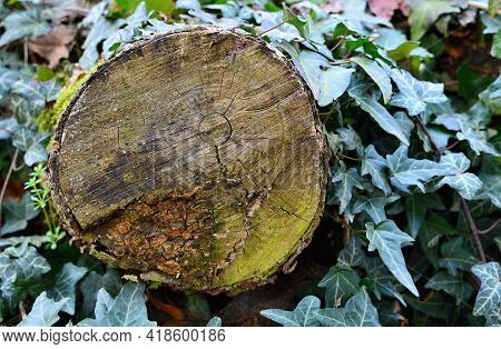 Cross Section Of An Old Tree Trunk With Visible Annual Rings, Moss And Rot. Close Up Of Tree Trunk W
