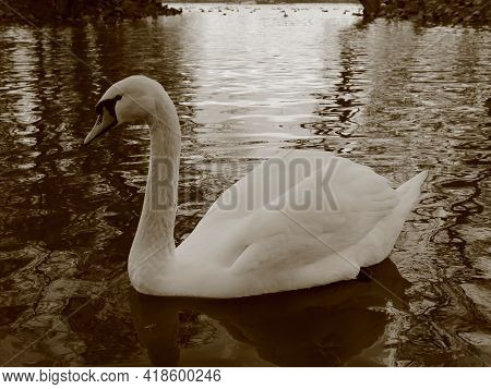 White Swan Gracefully Swims Alone In An Autumn Lake With Reflections Of Sunset Sky. Loneliness Conce