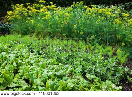 Vegetable garden with variety of vegetables growing in soil - beets, beans, dill, and others.