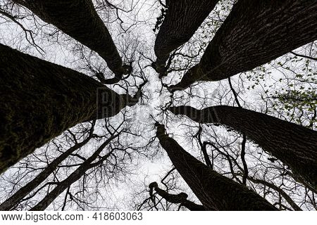 Dynamic view of an amazing oak tree trunk and branches in winter.