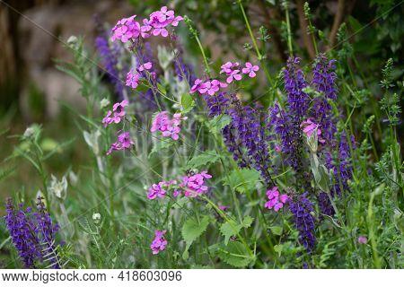 Annua Lunaria and Salvia pratensis flowers in an ornamental garden .