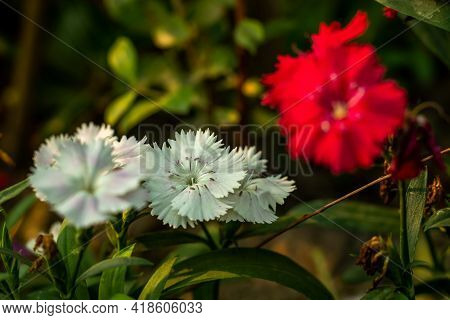 Clove Pink Or Maiden Pink Or Sweet-william Sweet Smelling Flower That Enjoys A Moist And Cooler Clim
