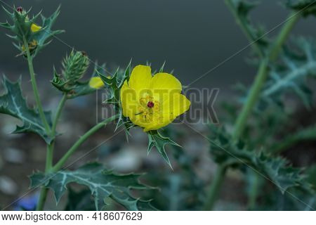 Gamboge Thistle Or Gold Thistle Plant Is Extremely Common, You'll Find It Almost Anywhere, It's Amaz