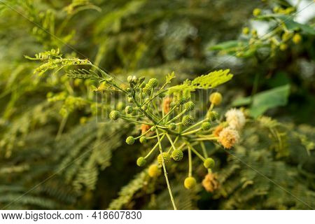 Leucaena Leucocephala Or River Tamarind This Is A Small Fast-growing Mimosoid Tree With Nice Ball Sh