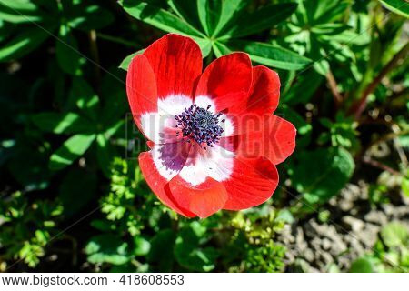 Close Up Of One Large Delicate Red Anemone Flower Or Windflower In Full Bloom In A Garden In A Sunny
