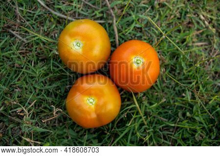 Ripe And Semi-ripe Yellow Red Tomatoes Are A Wonderful Fruit And Vegetable