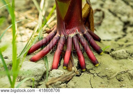 Maize Plant Has Nice Colorful Fibrous Roots! And It Belongs To The Monocot Plant Thats Brown Red And