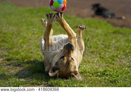 Dog Lying On The Grass. Playing The Ball Lying On His Back. Red-haired A Large Dog Plays With A Colo
